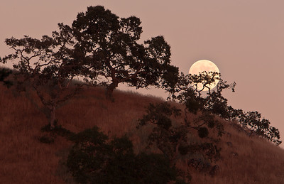 A Full Buck Moon (Native American) rises behind oaks in Henry Coe State Park, Morgan Hill, California, USA.