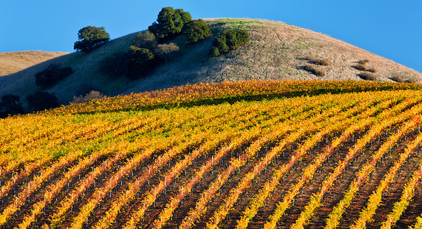 Warm fall color enlivens a vineyard in southern San Benito County, California, USA.