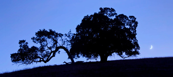 A crescent moon rises alongside two California Oaks, San Benito County, California, USA.