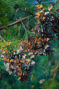 Monarch Clusters