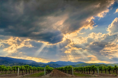 Crepuscular Rays Over Vineyard