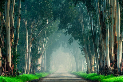 Country lane line with eucalyptus trees and fog, San Benito County, California, USA