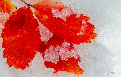 Red leaves in snow