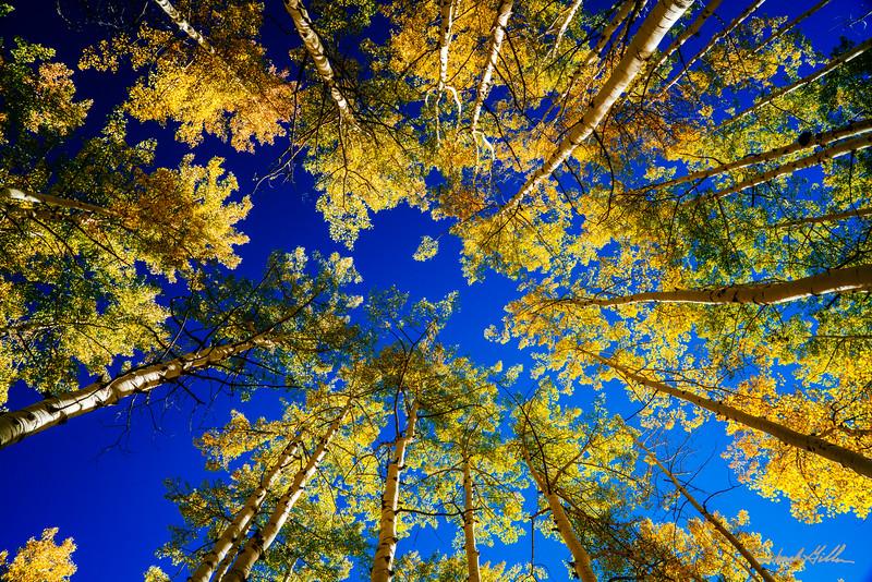 Canopy of Aspen