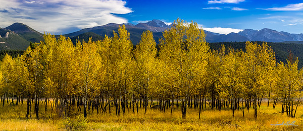 Golden Aspen and Longs Peak