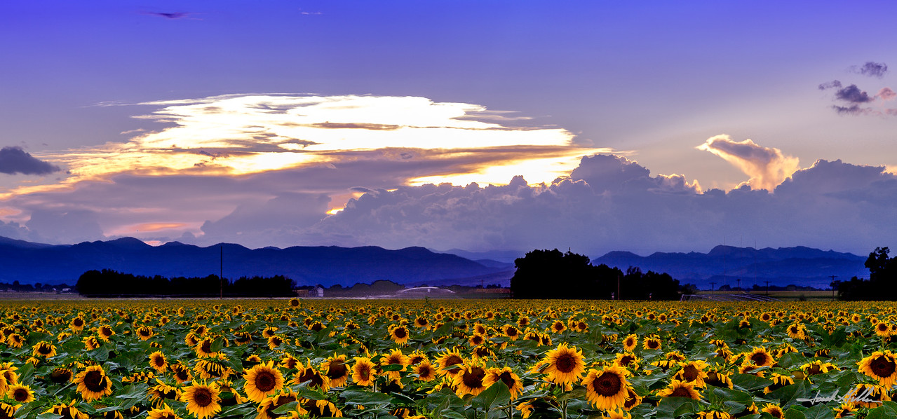 Last light and a field of Sunflowers