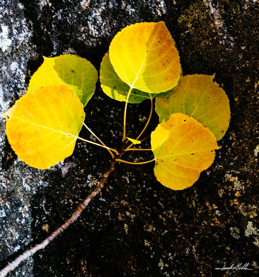 A single branch of golden Aspen