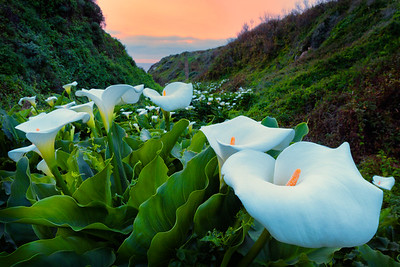 Calla Lilies and Dusk Skies