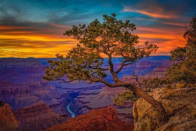 Juniper Tree and Colorado River, Grand Canyon