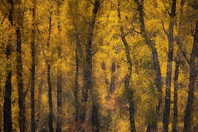 Cottonwoods and Fall Color
