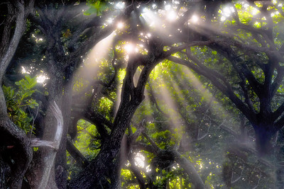 Crepuscular Rays Through Trees