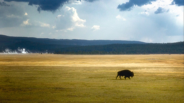 Shoshone National Forest of Wyoming - On the Road Landscape - A Lone Roaming Bison