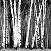 Black and White Aspens