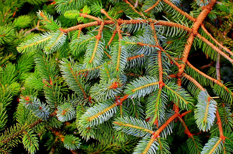 Pines, Up Close & Personal
