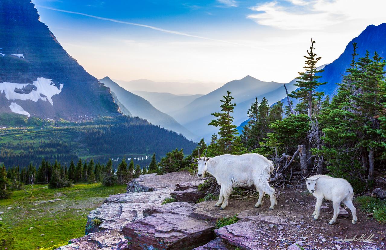Sheep goats captivated