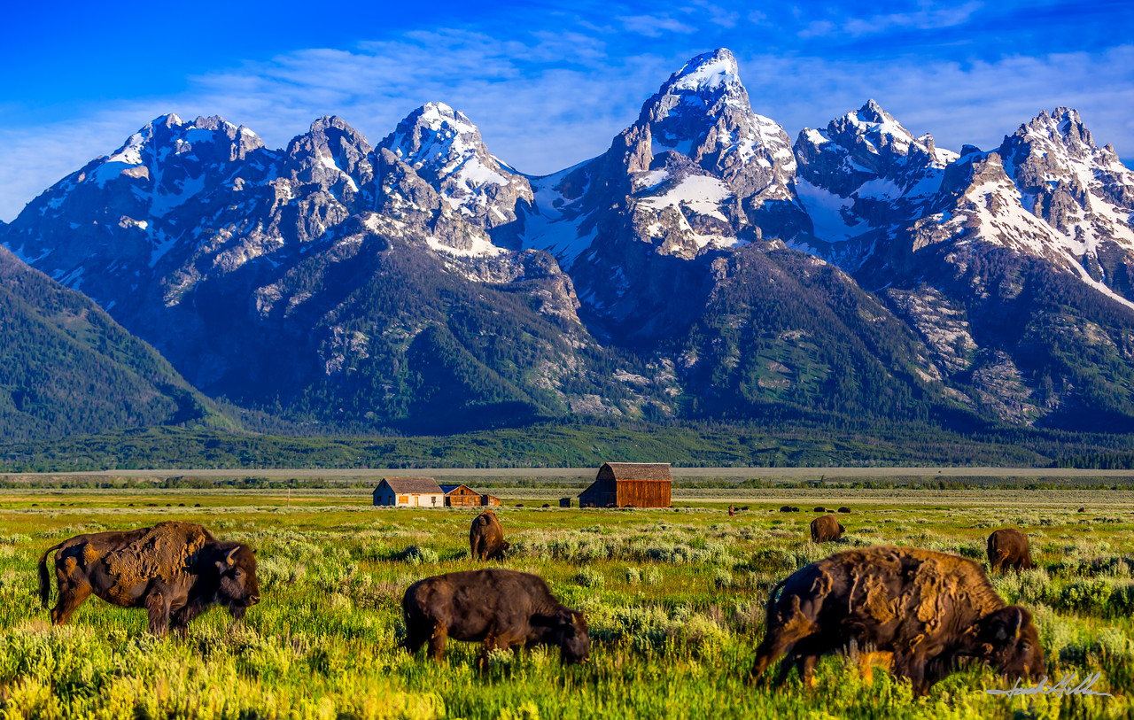 Buffalo Grazing