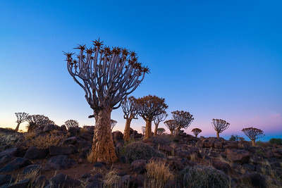 Quiver Tree Forest and Dawn Light