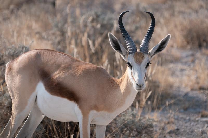 Springbok Closeup in Etosha