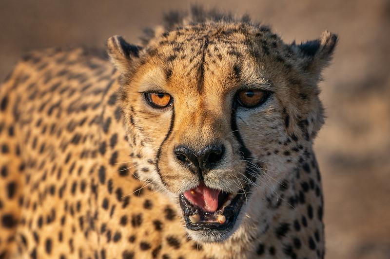 Cheetah Closeup