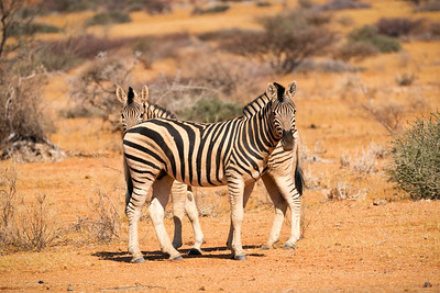 Zebras at Skitzkoppe