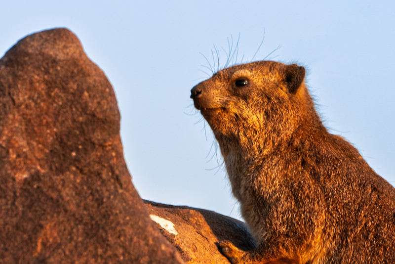 Dassie on Rocks in Quiver Tree Forest