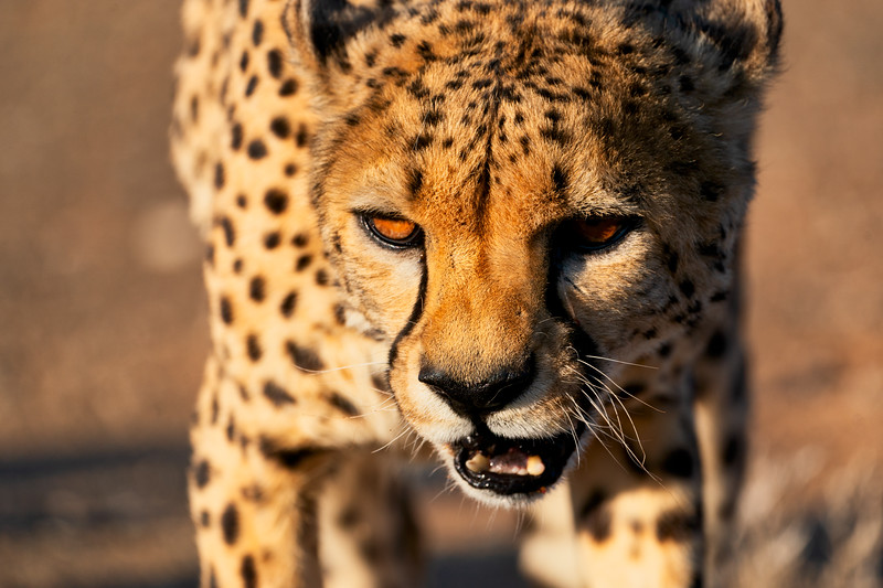 Cheetah Growl