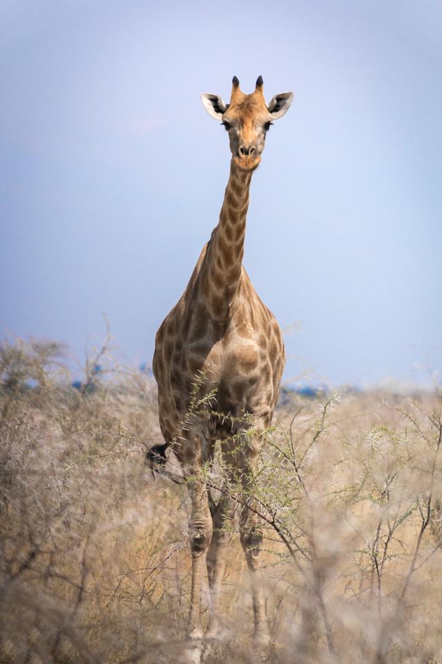 Giraffe in Wild