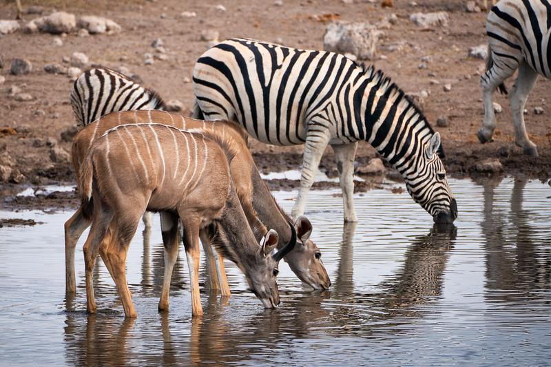 Springbok and Zebra Drinking