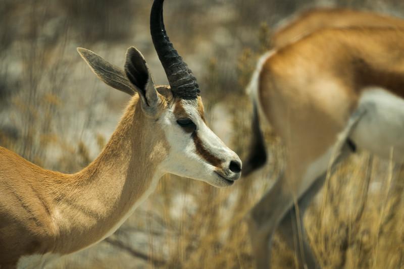 Male Thomson's Gazelle