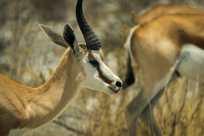Male Thomson's Gazelle