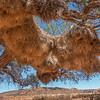 Sociable Weaver Nests