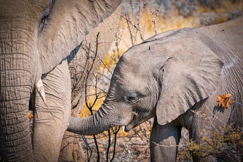 Baby White Elephant Feeding