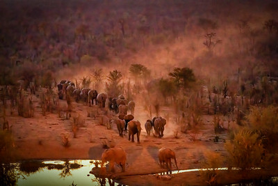 Elephant Herd Comes to Drink