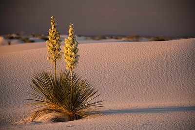 Early Morning Light on Yuccas