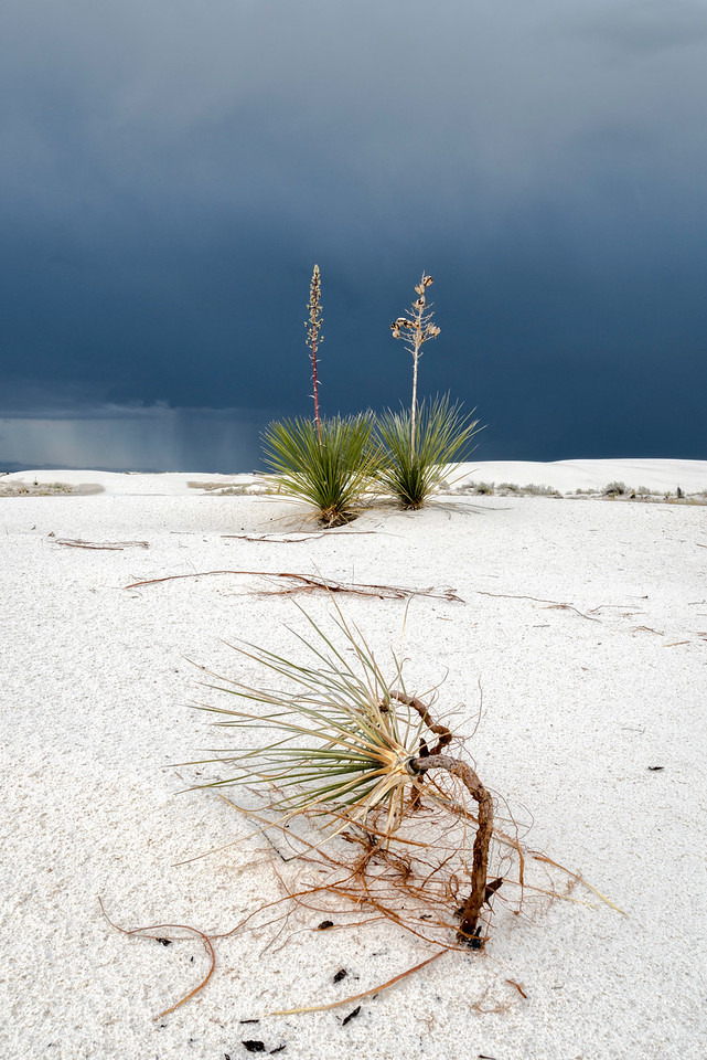 Yuccas Against Strom Clouds