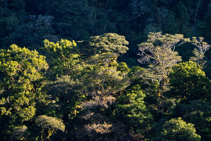 Beech Trees in Fiordland National Park