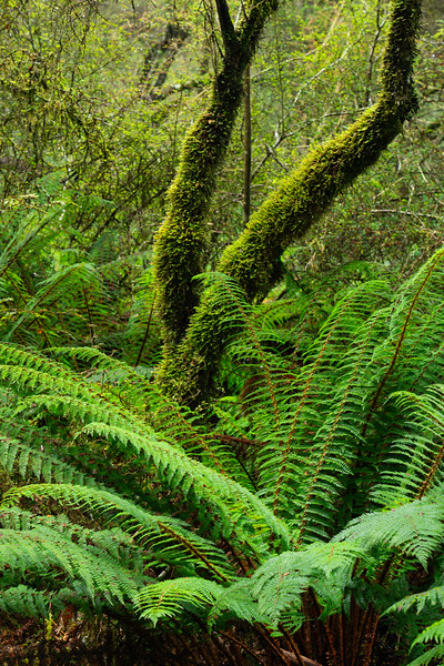 Forest and Ferns, Mt. Aspiring National Park