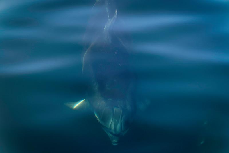 Bottlenose Dolphin in Doubtful Sound