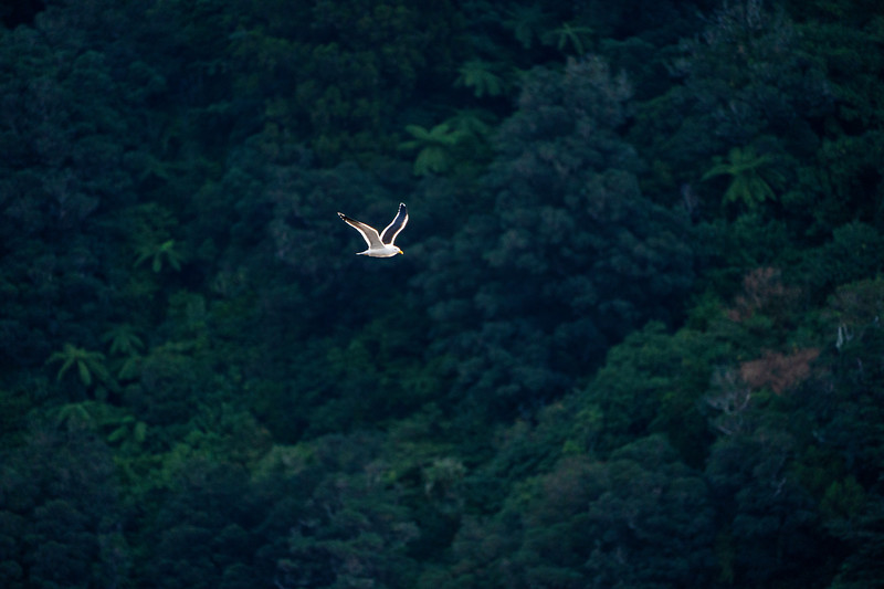 Seagull Soars in Doubtful Sound