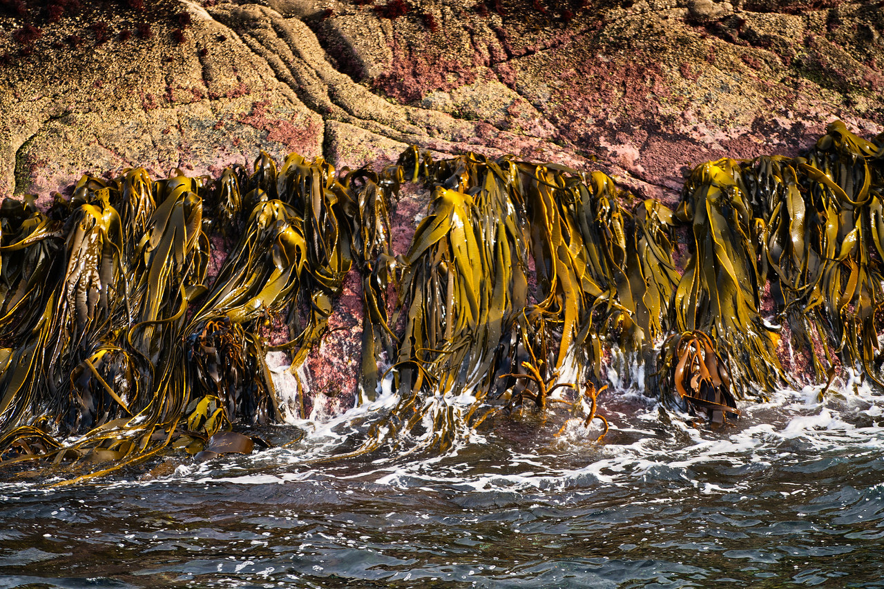 Kelp Attached to Sea Rock