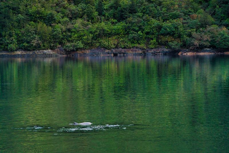 Bottlenose DolphinFiordlands National Park