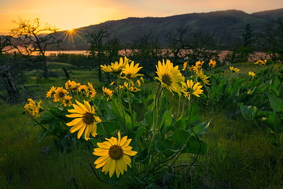 Susnet and Balsamroot