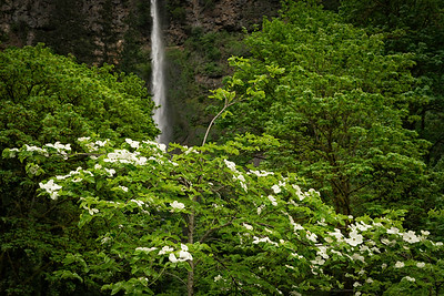 Dogwood and Multnomah Falls