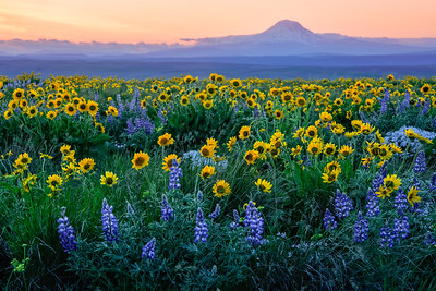 Wildflowers and Mt. Adams
