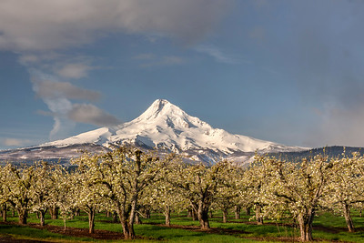 Apple Orchard Bllom and Mt. Hood