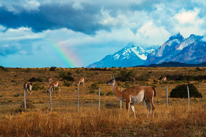 Guanacos and Rainbow