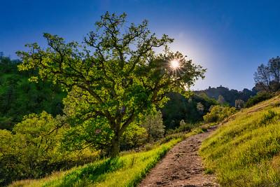 California Oak at Pinnacles National Park