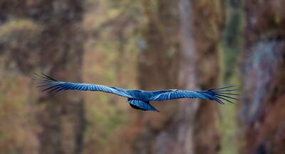 California Condor Taking Flight
