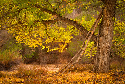 Oak Tree in Fall Color, Pinnacles National Park