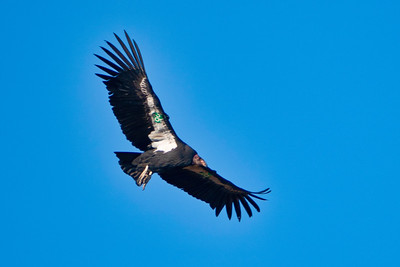 California Condor Number 26